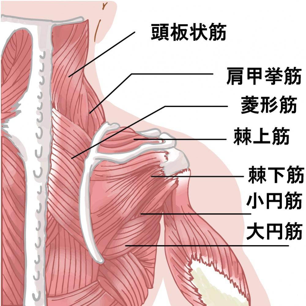 四十肩・五十肩に関連する筋肉